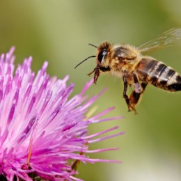 Help Save the Honeybees!